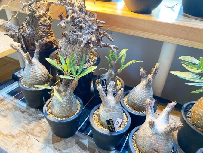 TSUBAME DONUT 販売されている植物