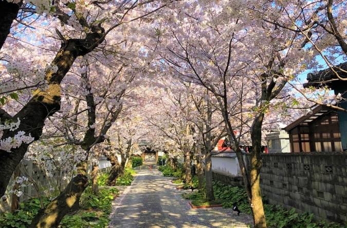 八女福島 桜