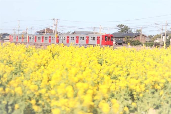 福ふくの里 菜の花と電車
