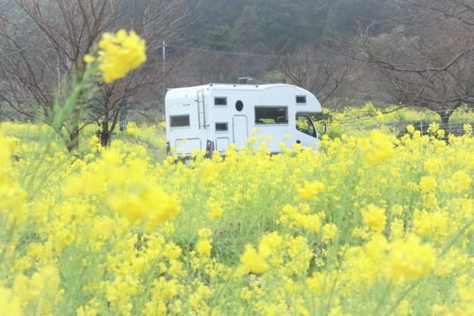 キャンピングカー 菜の花