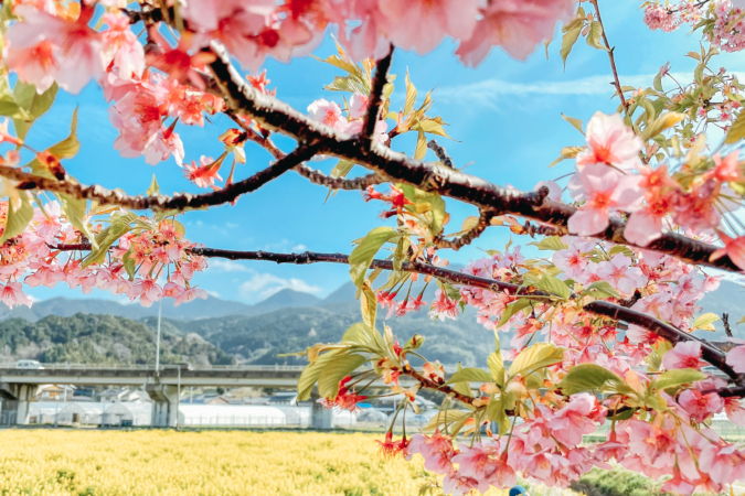 福ふくの里 桜と菜の花