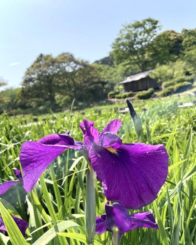 宮地嶽神社の菖蒲池
