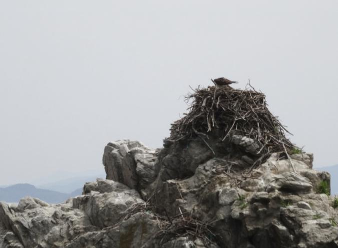 「志賀島ドッグ」の前の二見岩に「ミサゴ」の巣が!