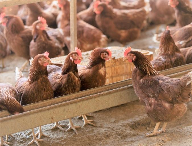 糸島ファームハウスUOVO(ウォーヴォ) 天上鶏